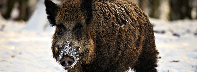Independent Wild Boar